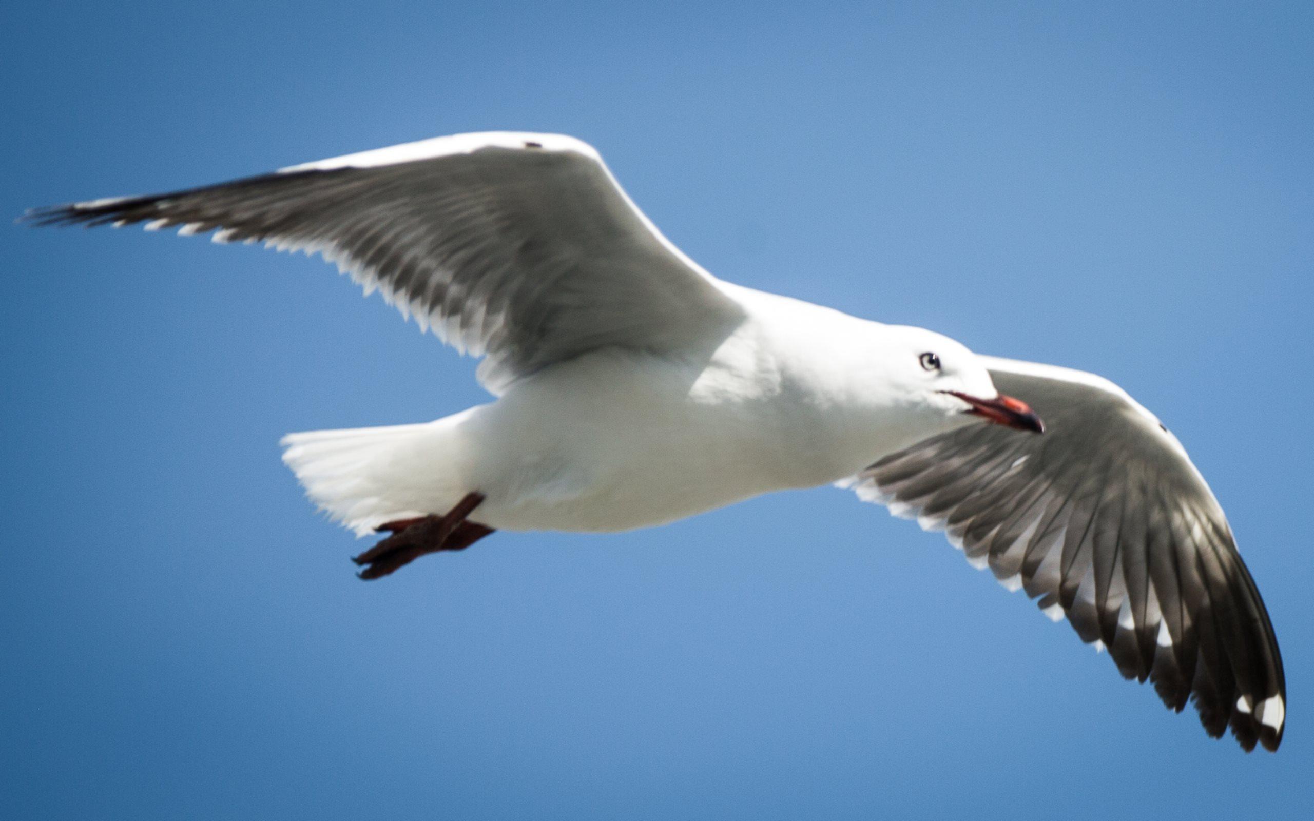 Seagulls-in-Foxton-Beach